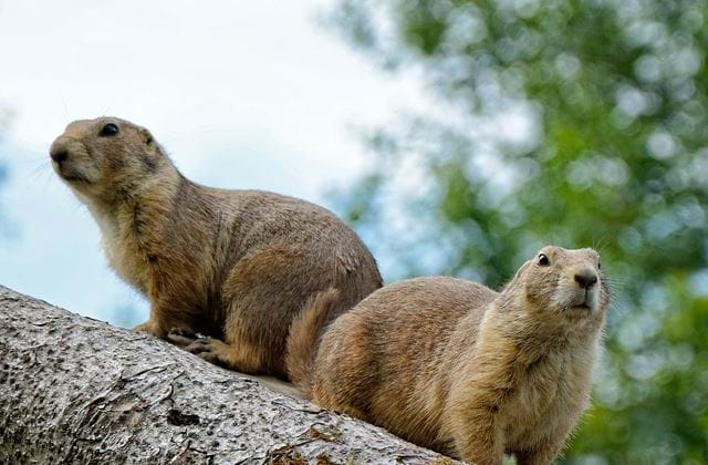 Facts About Marmots