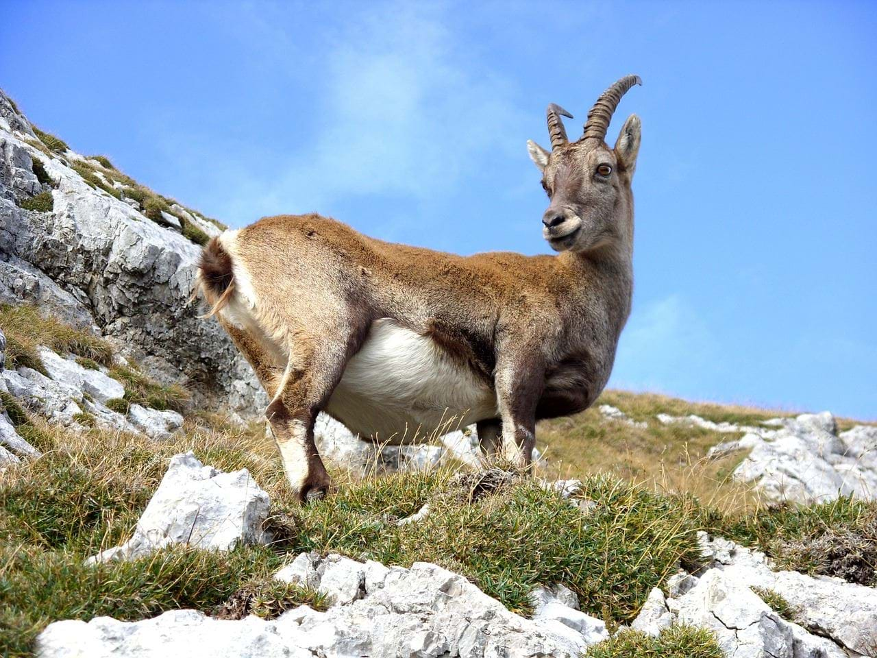Wildlife in the Alps